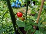鉢植えトマト