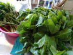 収穫の山菜